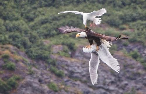 Mòng biển tấn công đại bàng đầu trắng cứu bạn