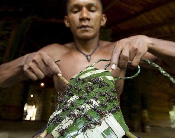 Nghi lễ kiến đầu đạn của tộc Sateré-Mawé (Amazon)