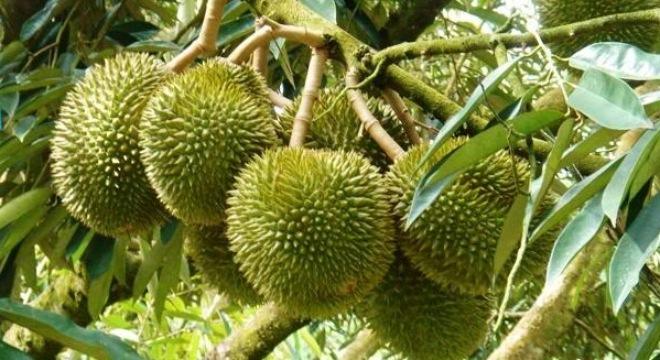 6 điều bất ngờ về trái sầu riêng không phải ai cũng biết