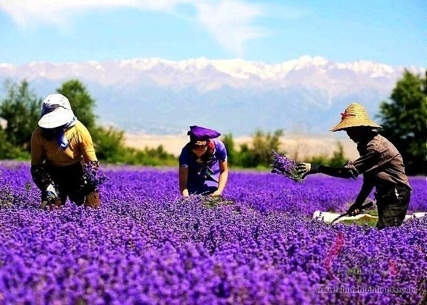 5 thung lũng hoa oải hương nổi tiếng nhất thế giới