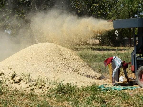 Các nhà khoa học nghiên cứu thành công giống lúa ít phát thải khí metan