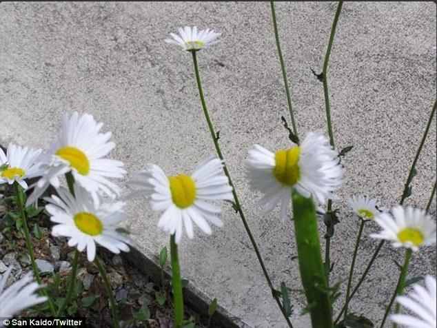 Thực vật bị đột biến gen vì phóng xạ gần Fukushima