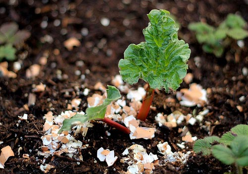 Vỏ trứng giúp tăng năng suất của cây cà chua