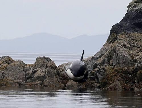 Giải cứu cá voi sát thủ mắc cạn trên bãi đá