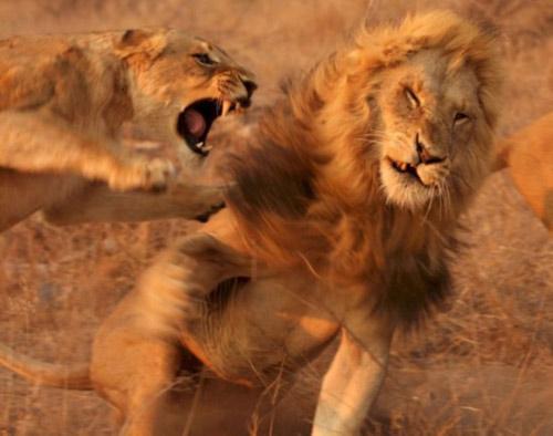 Chùm ảnh: Cuộc đấu sống còn của động vật hoang dã