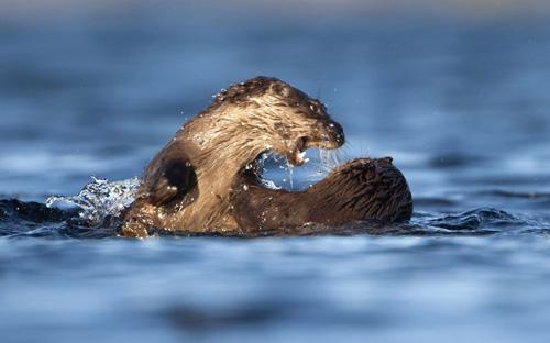 Trận chiến không cân sức giữa cá sấu và gia đình rái cá