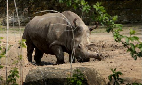 Chỉ còn 4 con tê giác trắng trên Trái đất