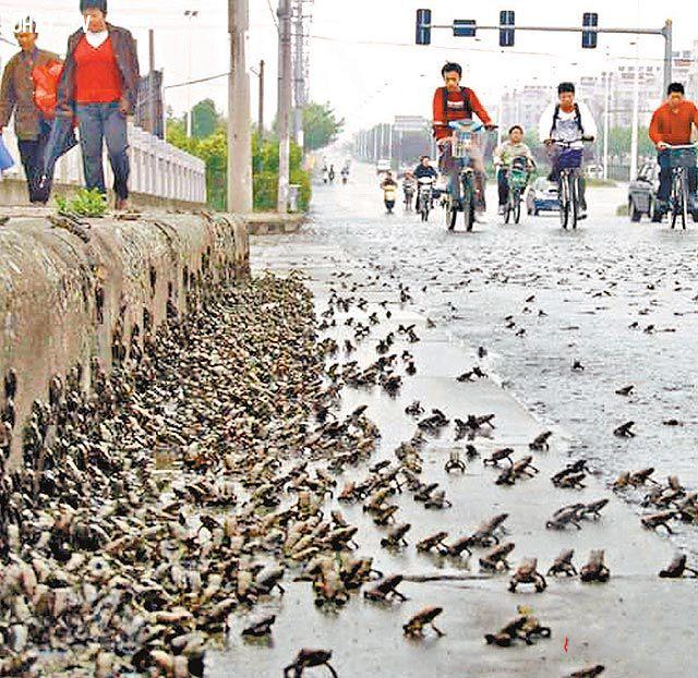 Hàng trăm ngàn con ễch ương xuất hiện ở Tây Ninh