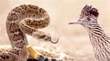 Gà lôi đuôi dài - rắn đuôi chuông và cuộc chiến không cân sức
