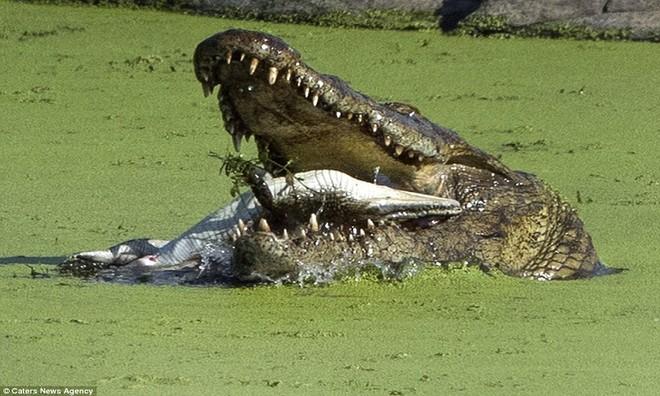 Cá sấu sông Nile nuốt chửng đồng loại không thương tiếc