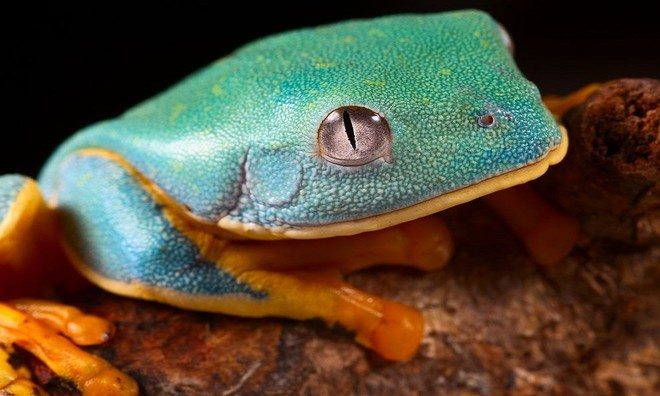 Sắc màu rực rỡ nổi bật của loài ếch cây