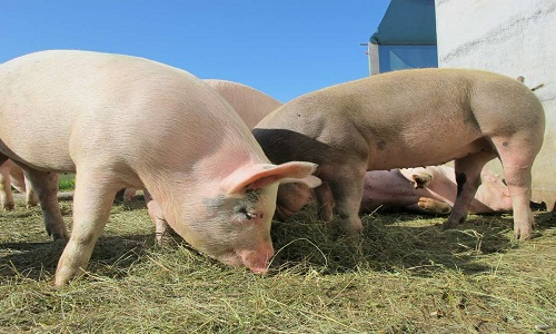 Lấy nội tạng của lợn để ghép cho người