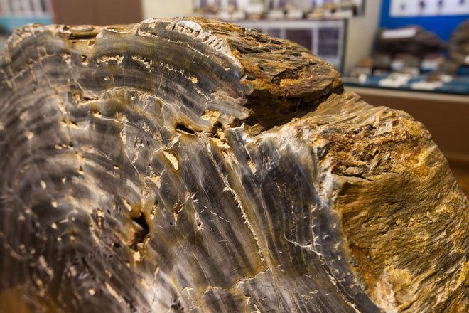Những hóa thạch trăm triệu năm được lưu giữ ở Việt Nam