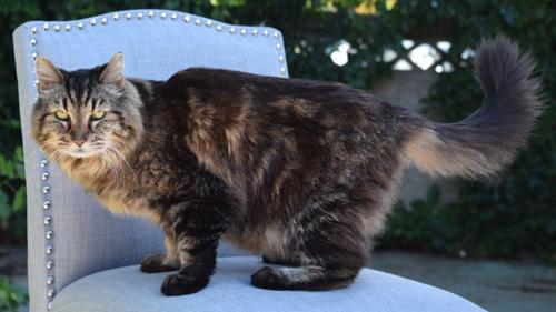 Kỷ lục mèo sống lâu nhất thế giới có chủ mới
