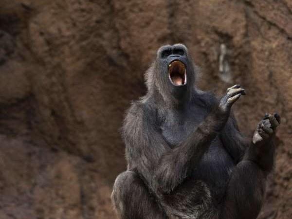 """Loài khỉ có khả năng """"nói"""" được tiếng người?"""