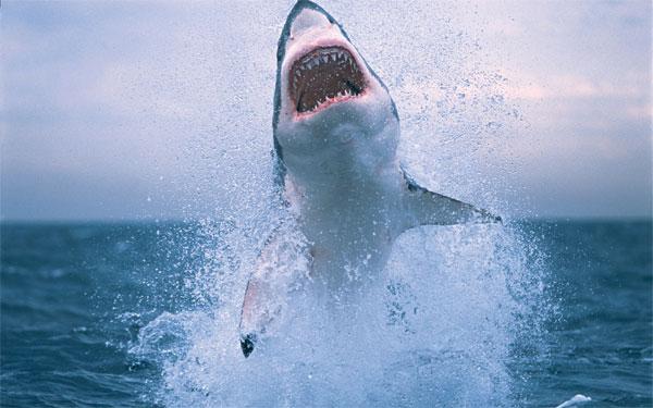 Bí ẩn đời sống tình dục lạ thường của cá mập trắng