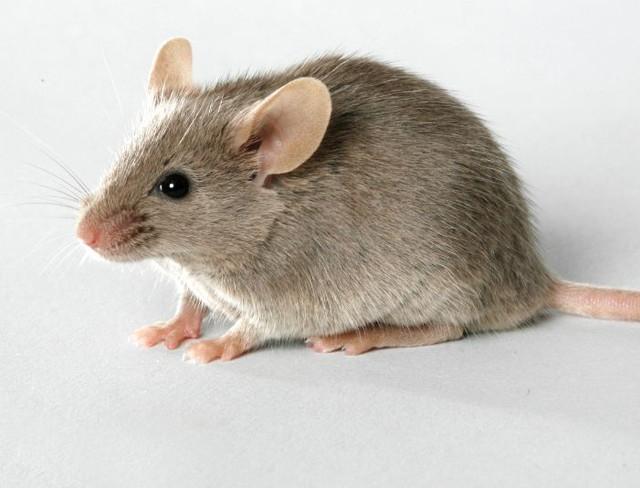 Smartphone sẽ thông minh như... chuột