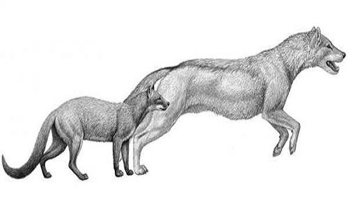 Chó hóa thành sói như thế nào?
