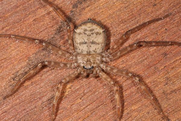 """Phát hiện loài nhện biết """"bay"""" tại Nam Mỹ"""