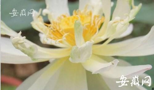 """Hạt sen 600 tuổi bất ngờ """"thức dậy"""" nở hoa ở Trung Quốc"""