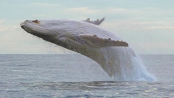 Loài vật hiếm nhất hành tinh đột nhiên xuất hiện