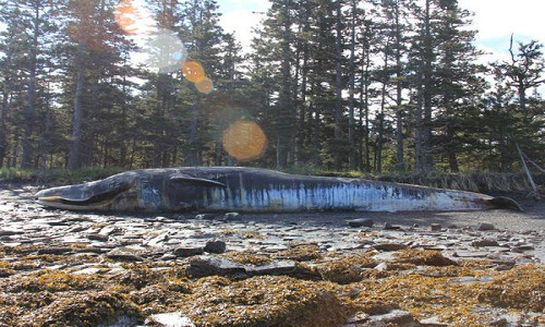 30 con cá voi chết bí ẩn ở vịnh Alaska