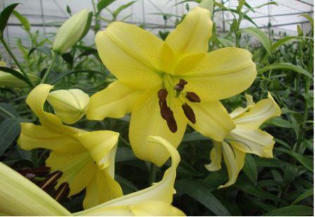 Việt Nam nhân giống và sản xuất thành công hoa lily Manissa và Belladonna