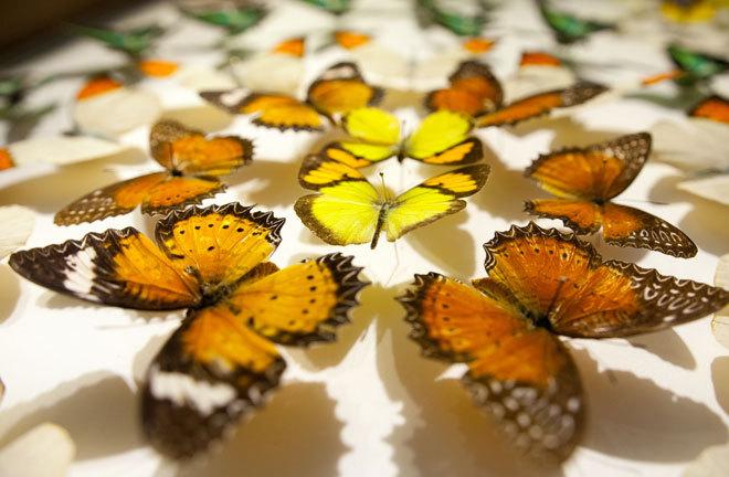 Chiêm ngưỡng những loài bướm đẹp, kỳ lạ ở Việt Nam