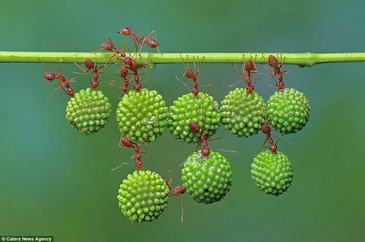 Sức mạnh siêu nhân của kiến đỏ