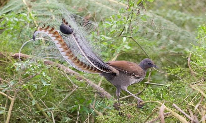 10 loài chim có lông đuôi dài tuyệt đẹp