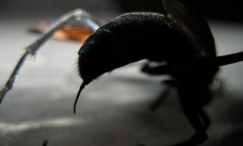 """Ong Tarantula Hawk có vết đốt đau như """"ngồi trên ghế điện"""""""