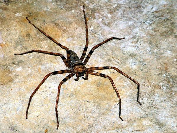 Giật mình trước 5 loài nhện khổng lồ trên thế giới