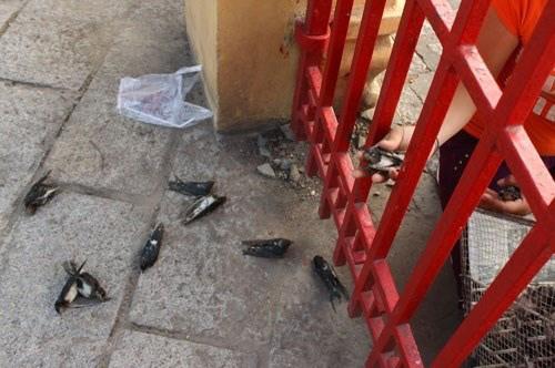 Những con chim phóng sinh bị chết.