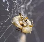 Ấu trùng ong bắp cày tấn công hệ thần kinh nhện, kết lưới và tạo kén