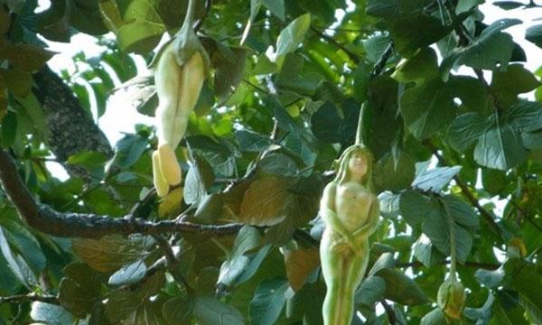 Video: Choáng với loại cây có quả hình... cô gái khỏa thân