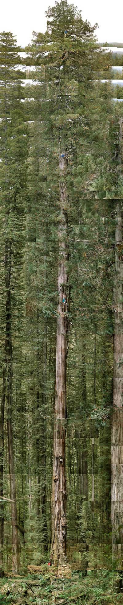 Cây cao nhất thế giới tính tới hiện tại cao bao nhiêu mét?