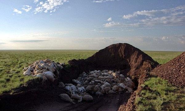 Tìm ra thủ phạm khiến 200.000 con linh dương Saiga chết trong một tháng
