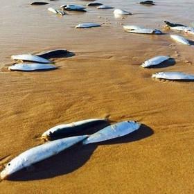 Hàng nghìn con cá trôi dạt vào bờ rồi biến mất bí ẩn
