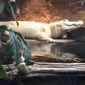 Cá sấu bạch tạng qua đời
