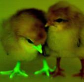 Gà phát sáng miễn nhiễm cúm gia cầm