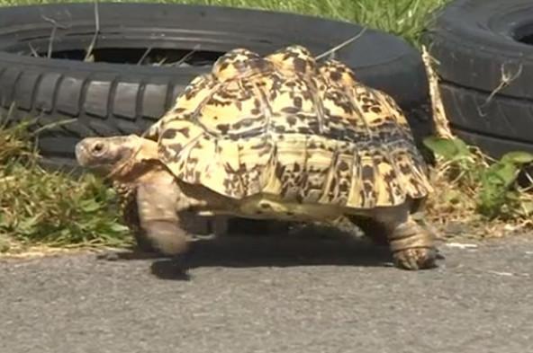 Video: Con rùa nhanh nhất thế giới