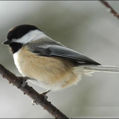 Vì sao chim ngủ trên cành cây không bị ngã?