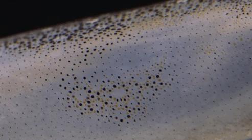 Cận cảnh cơ chế đổi màu tuyệt đẹp của làn da loài mực