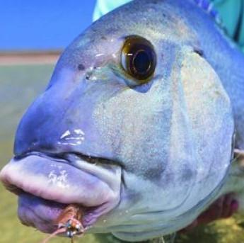 Loài cá chuyên cưỡng hôn đối thủ