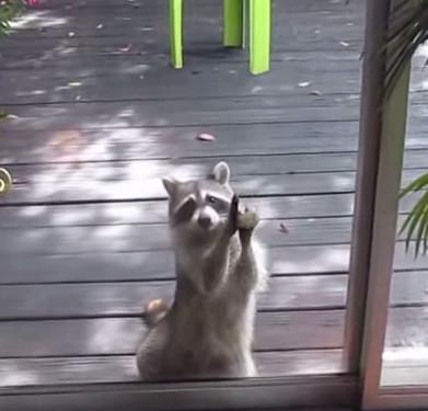 Gấu mèo hoang gõ cửa nhà dân đòi ăn