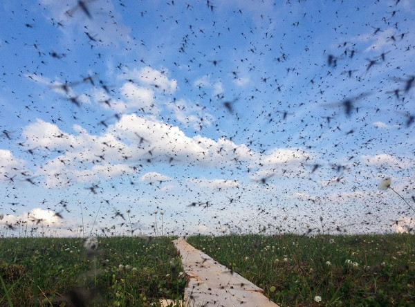 Muỗi khổng lồ Bắc Cực tăng trưởng mạnh nhờ biến đổi khí hậu