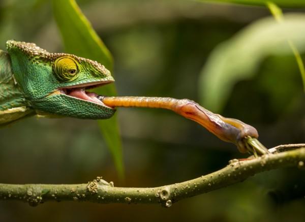 Những cách dùng lưỡi độc đáo của động vật
