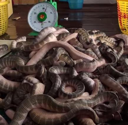 Video: Đánh bắt và buôn bán rắn biển trên Vịnh Thái Lan