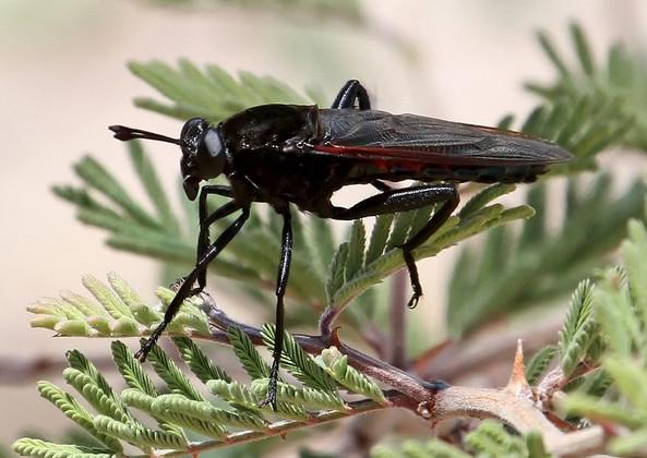 Con ruồi to nhất thế giới to đến cỡ nào?