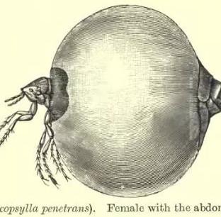 Bọ Jigger - Loài bọ cả đời bạn không muốn chạm trán